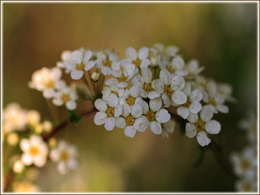 Zarter Blütenreigen*