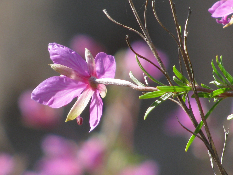 ..zarter Blumengruß !!!..
