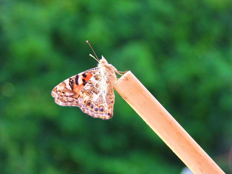 *zarter Schmetterling*