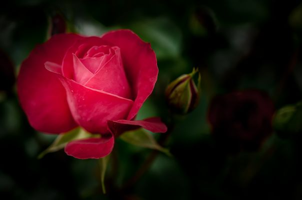 zartes Rot / Rose