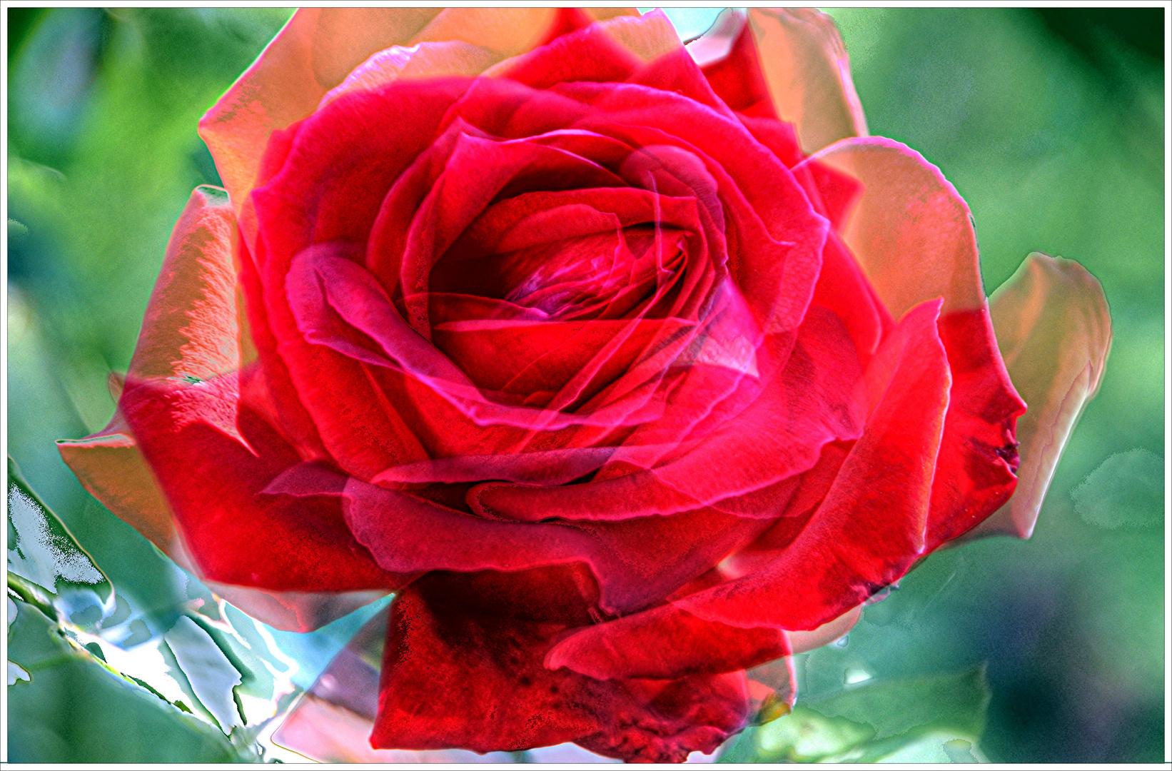 Zauber der Rosen > Rosenzauber