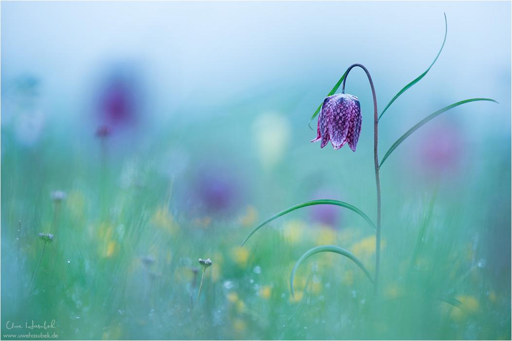 Zauber der Schachbrettblumen