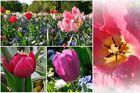 Zauber der Tulpe