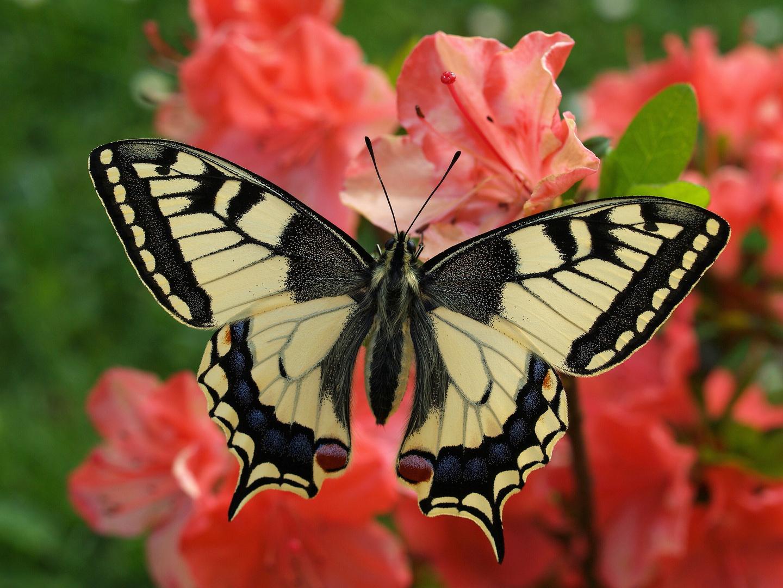 zauberhaft Schmetterling