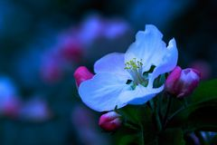 Zauberhafte Apfelblüte