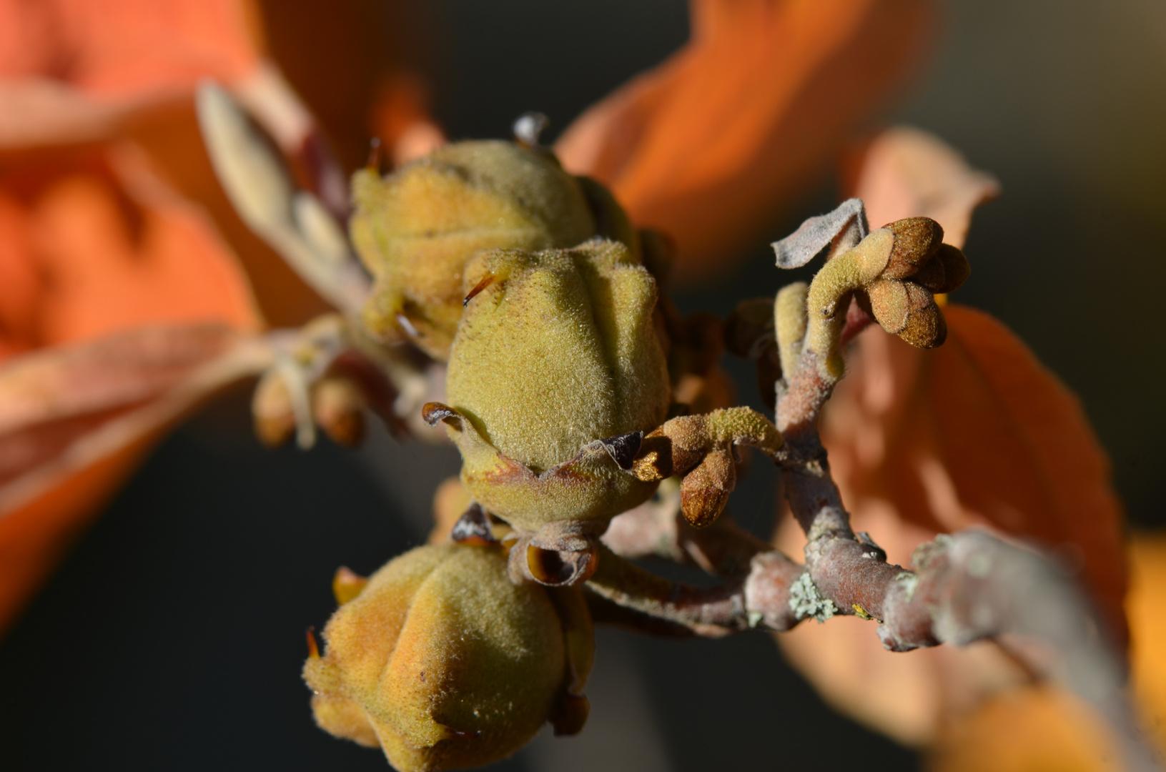 Zaubernuss im Herbst