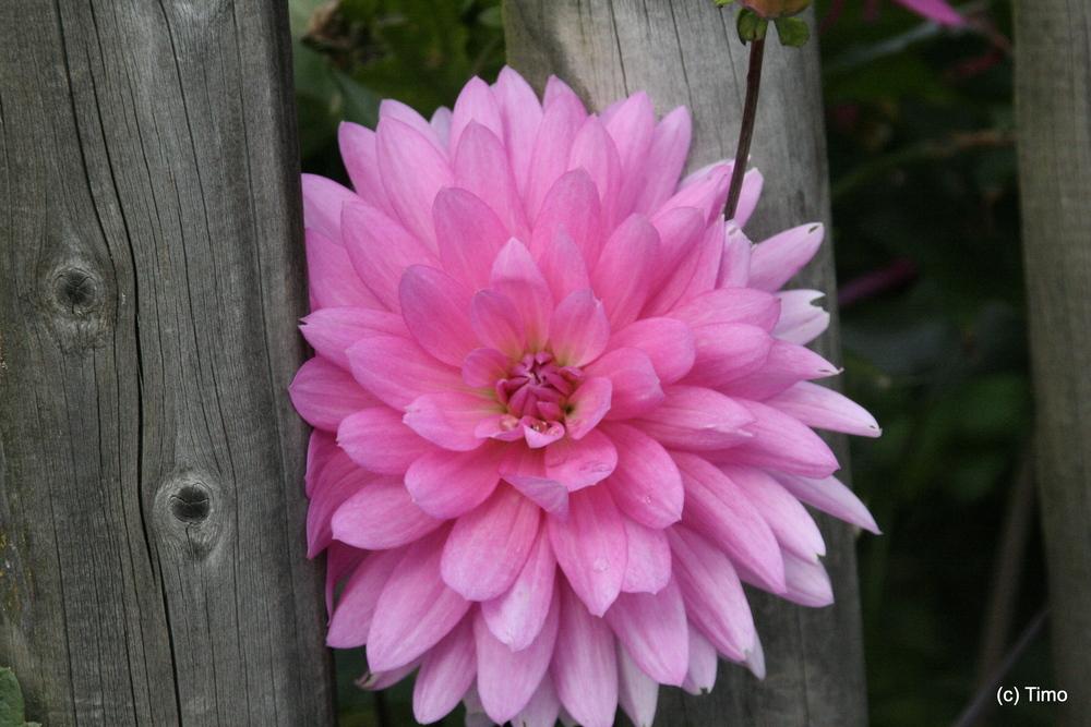 Zaun Blume