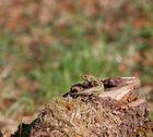 Zauneidechse auf ihrer Aussichtsplattform