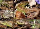 Zauneidechse Collage