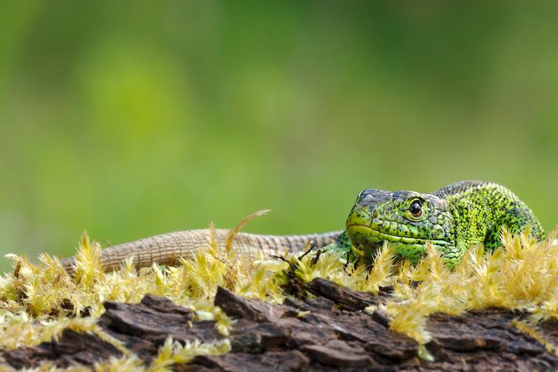 Zauneidechse · Männchen
