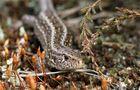 Zauneidechsen -Weibchen im Moos