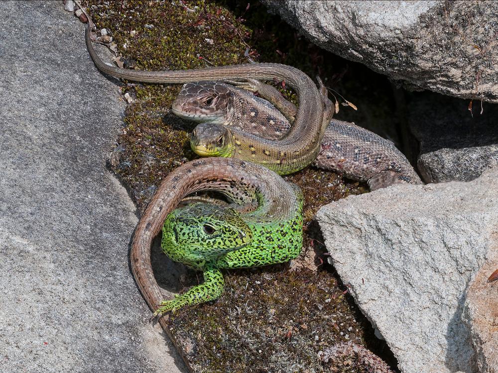 Zauneidechsenfamilie beim Sonnenbad