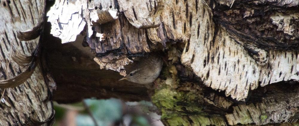 Zaunkönig an seinem Nest