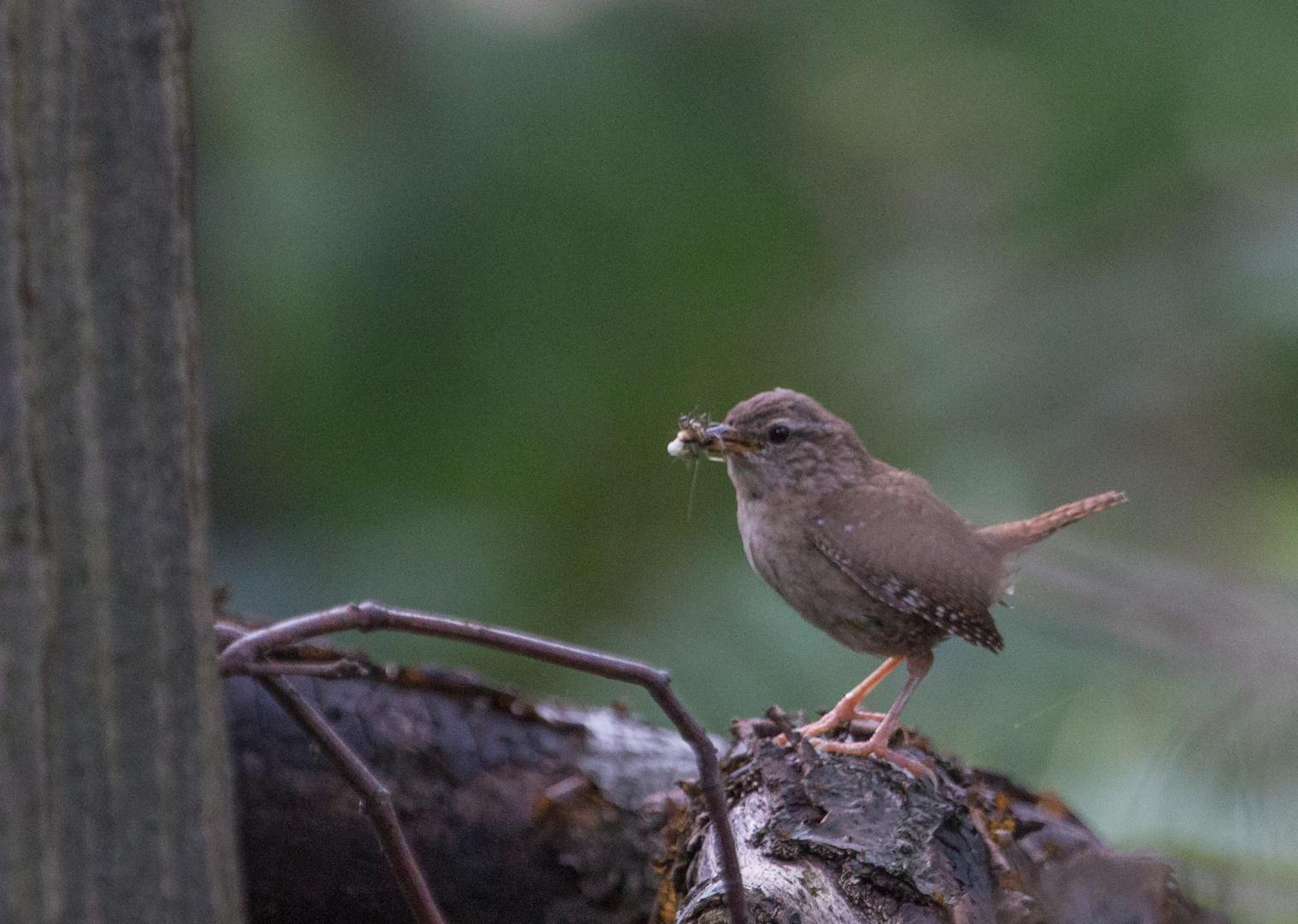 Zaunkönig beim Anflug aufs Nest
