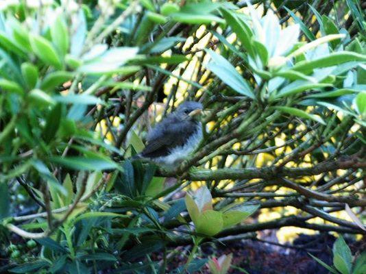 Zaunkönigbaby verlässt zum ersenmal das Nest