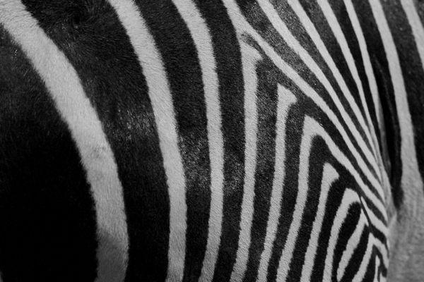 Zebr.
