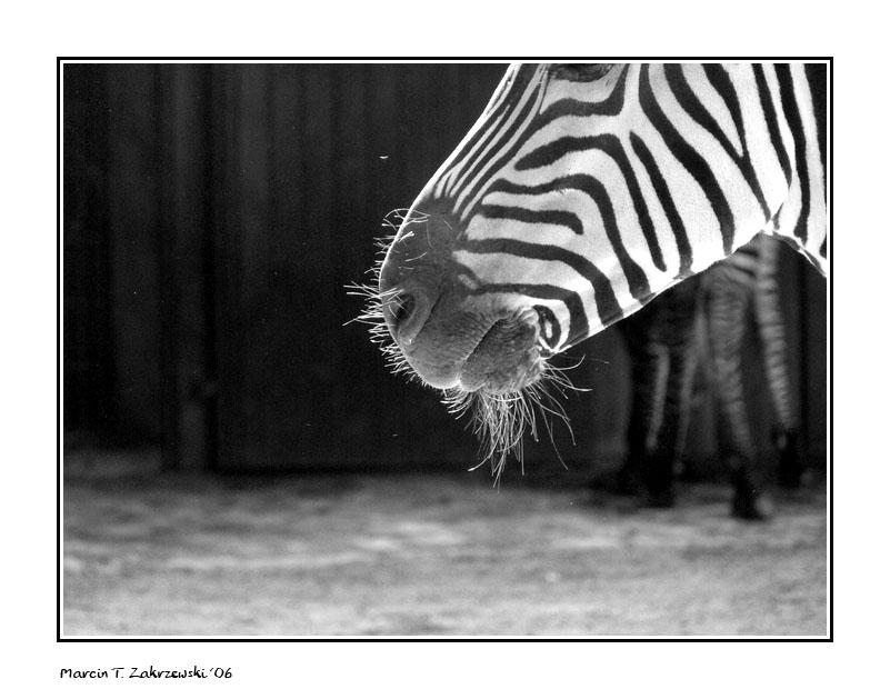 Zebra 2 shave