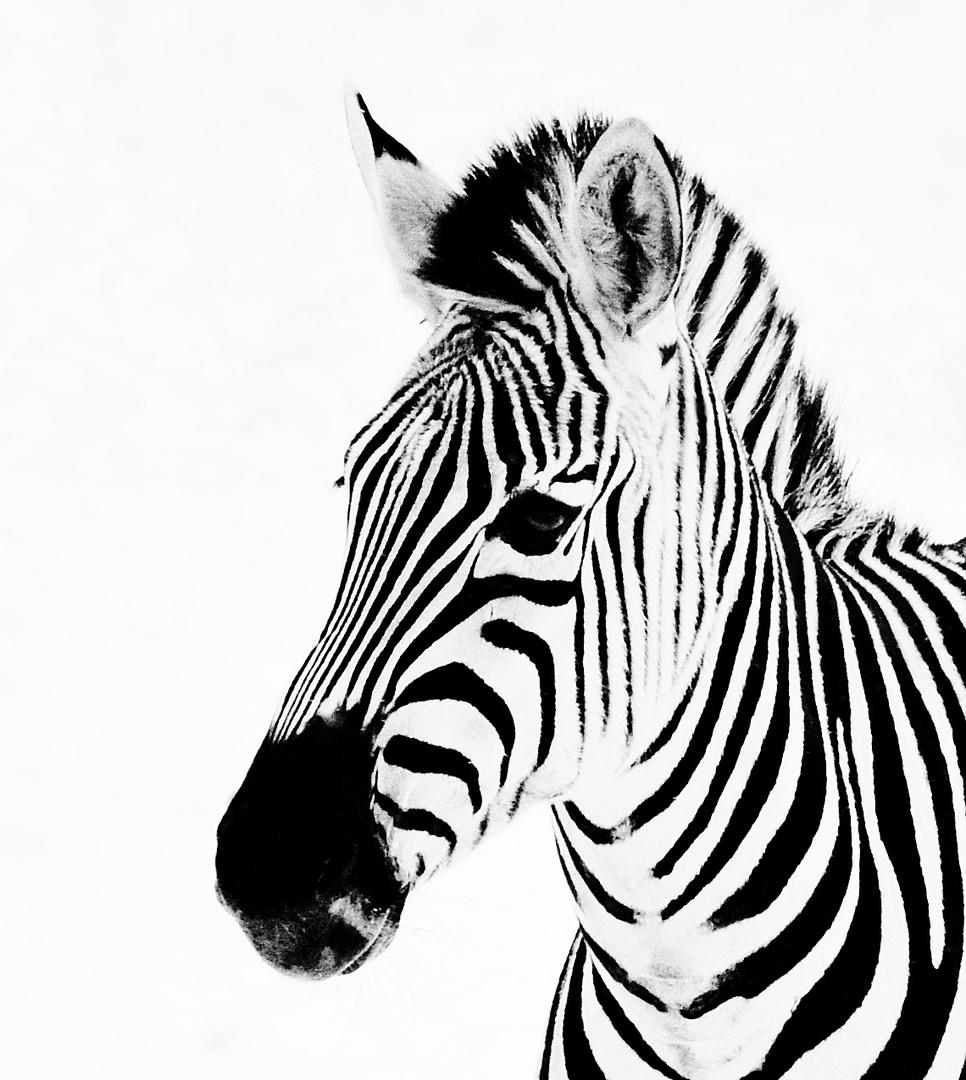 zebra foto  bild  tiere tierdetails natur bilder auf