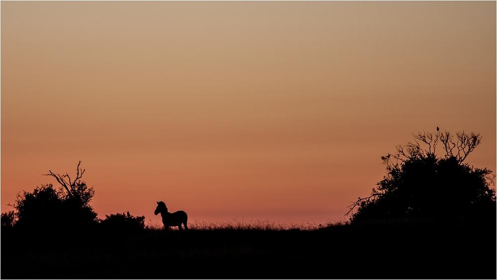 Zebra am Morgen