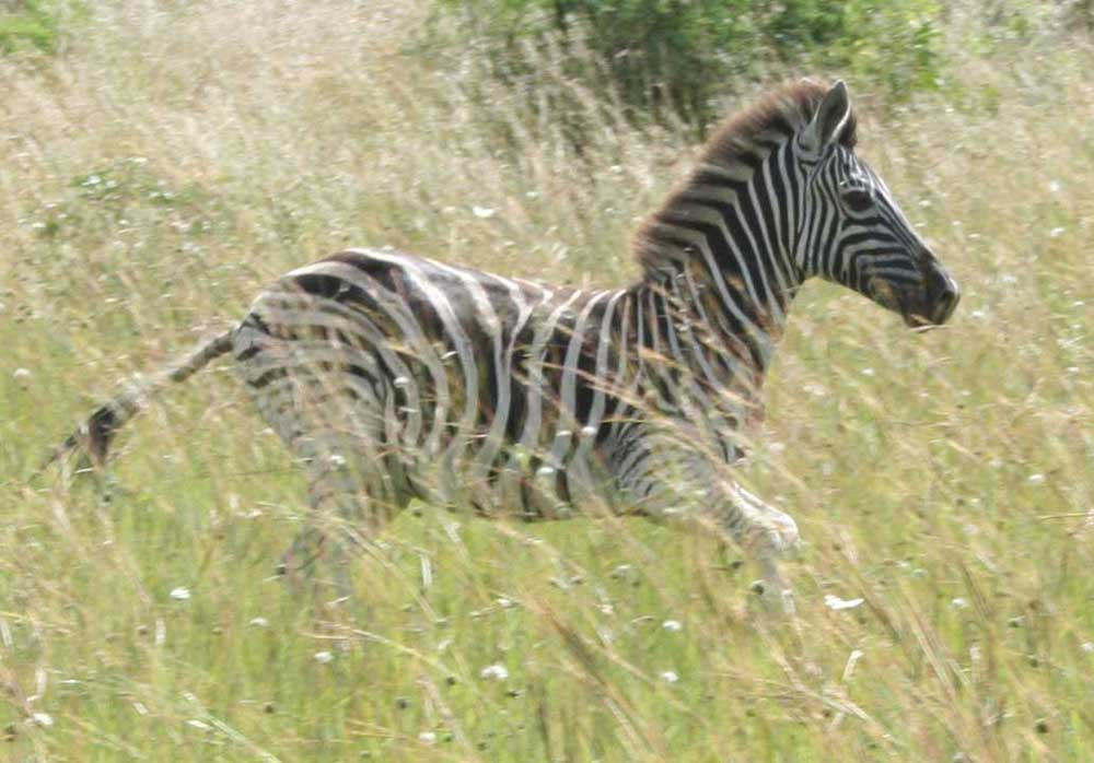 Zebra aus Südafrika