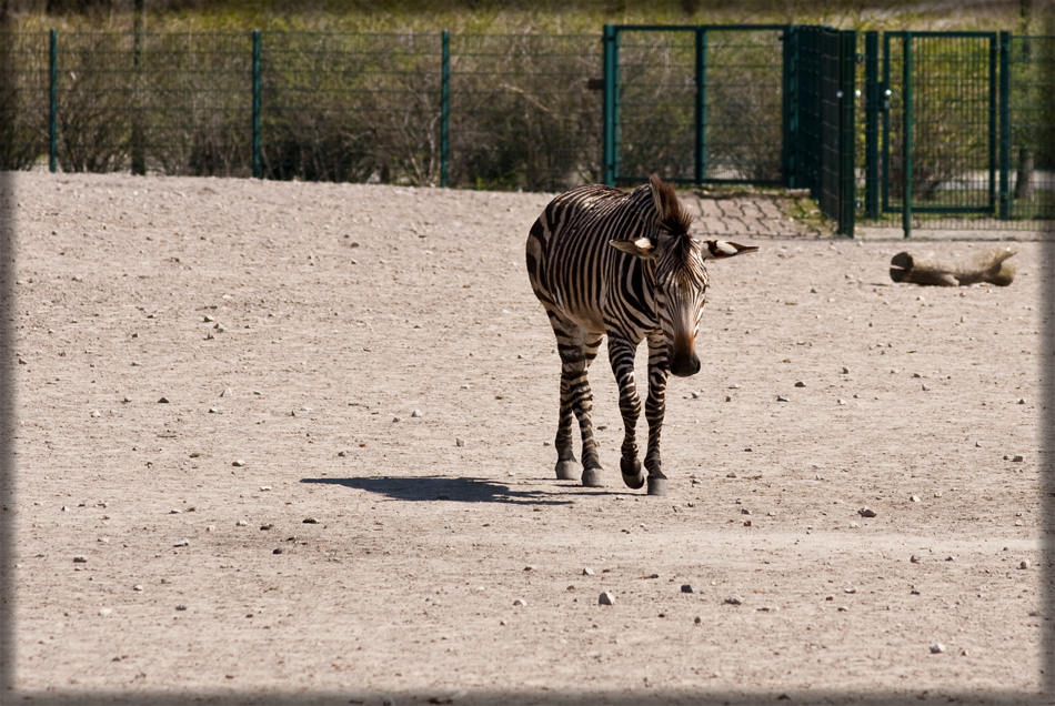 Zebra (deprimiert)