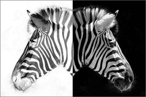 Zebra-Duo II
