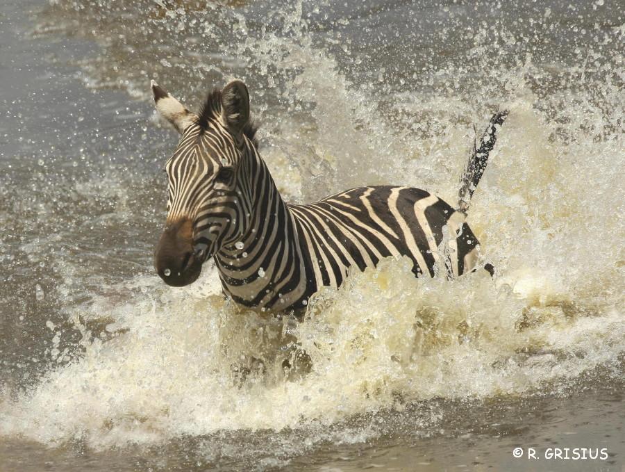Zebra durchschwimmt Mara Fluß in Kenia