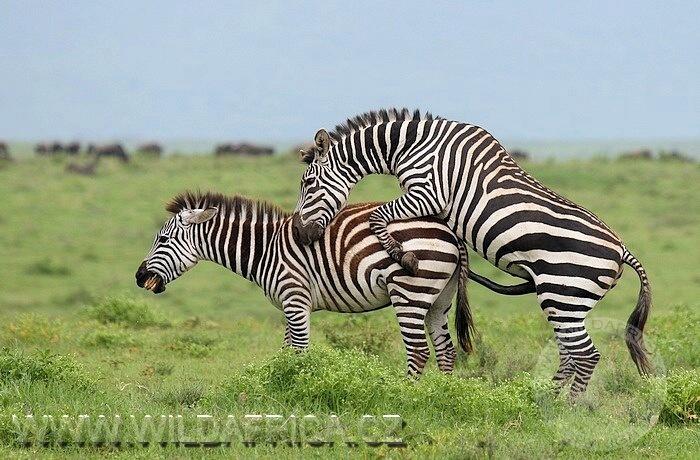 Zebra (Equus burchellii boehmi)