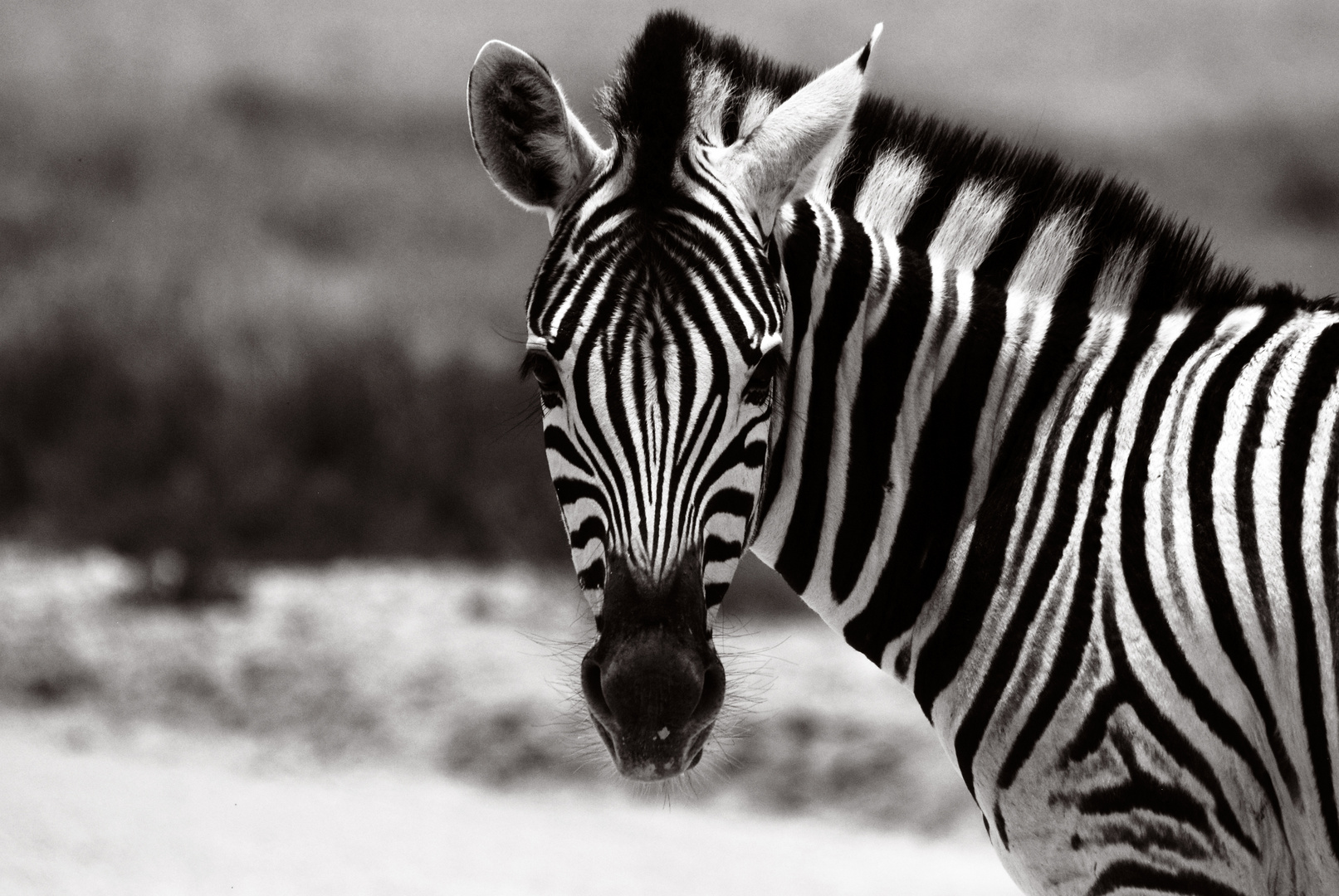 Zebra, Etosha Nationalpark, Namibia