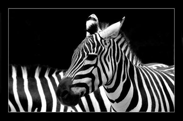 Zebra....