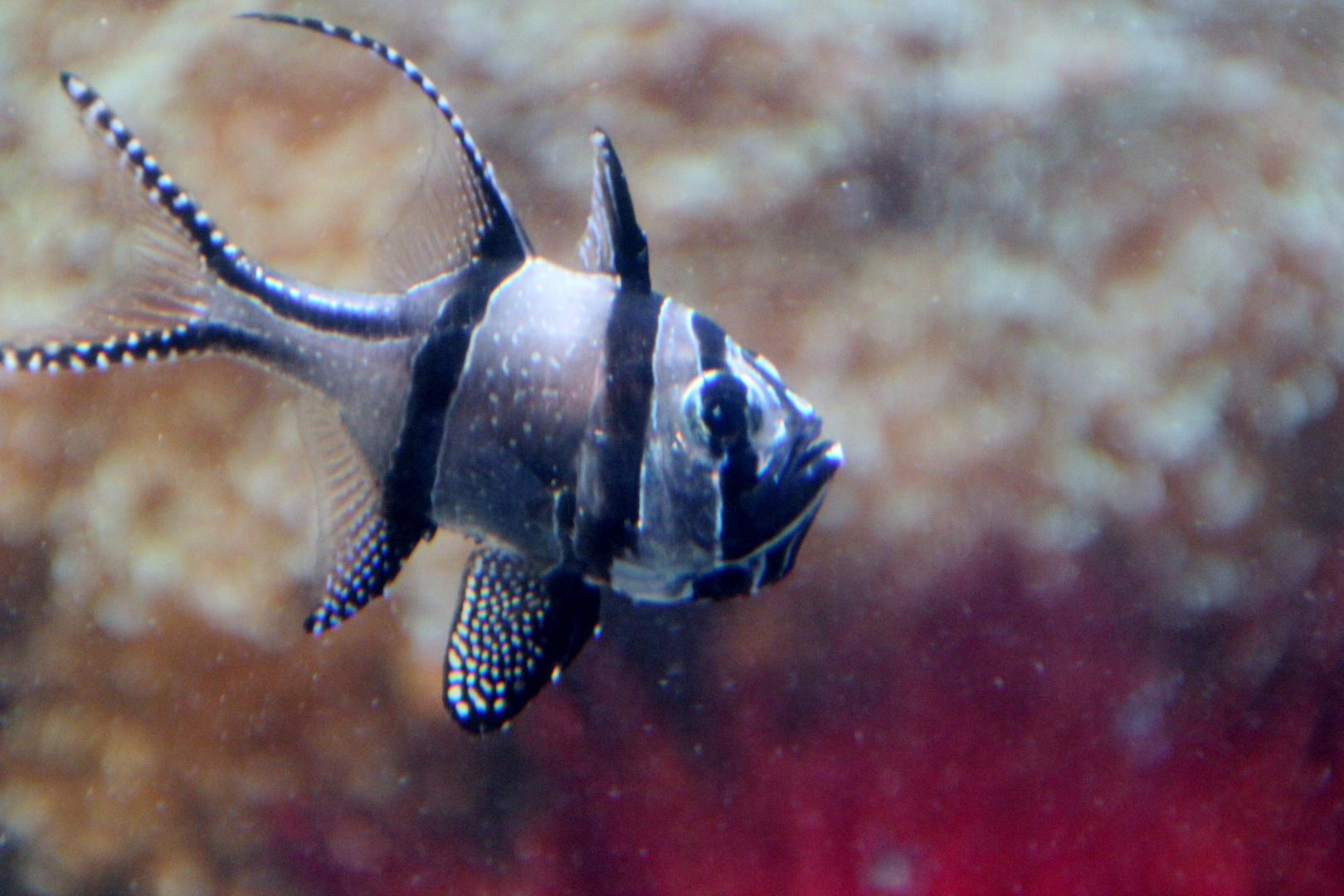 Zebra-Fisch