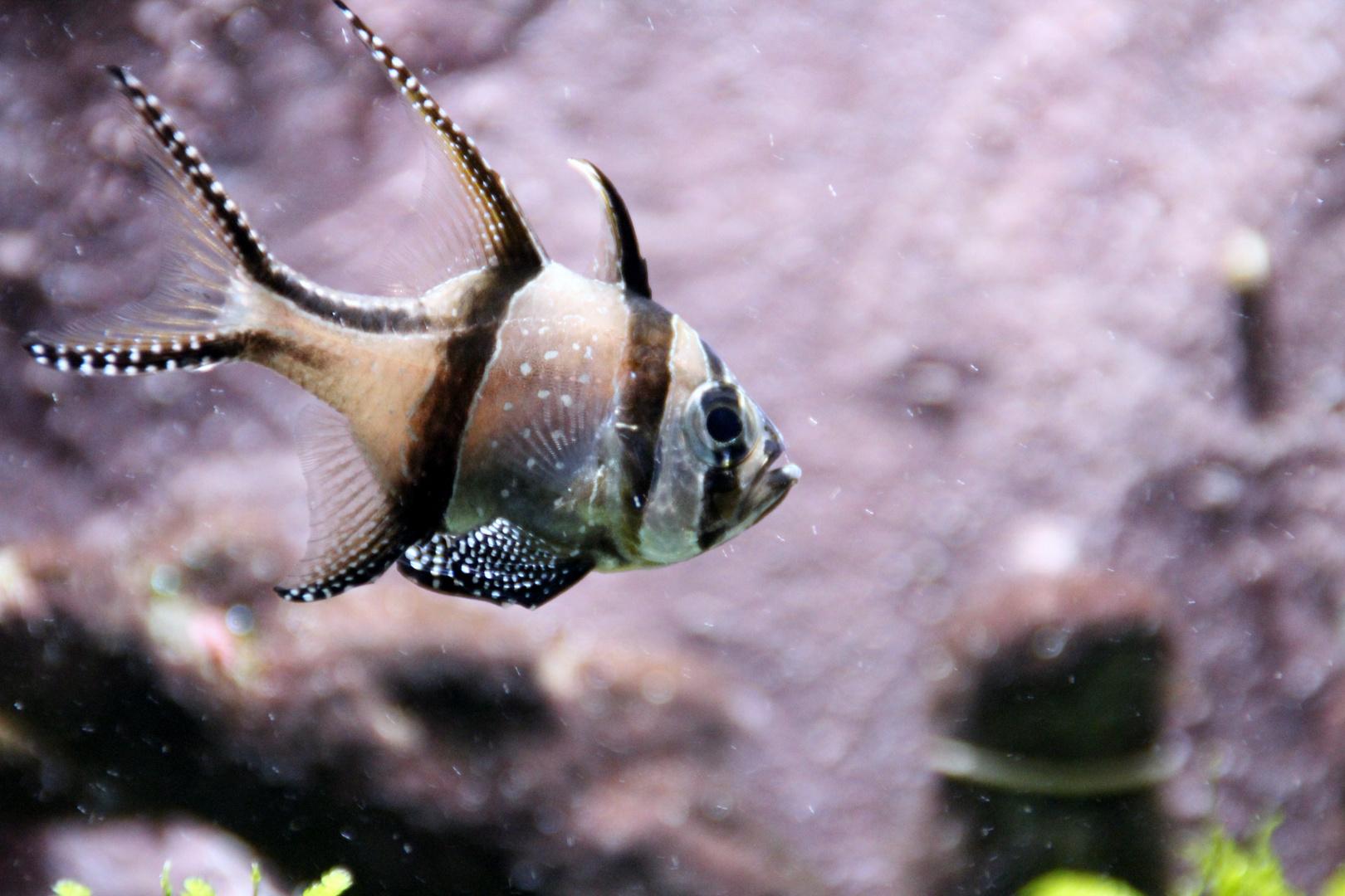 Zebra-Fisch II