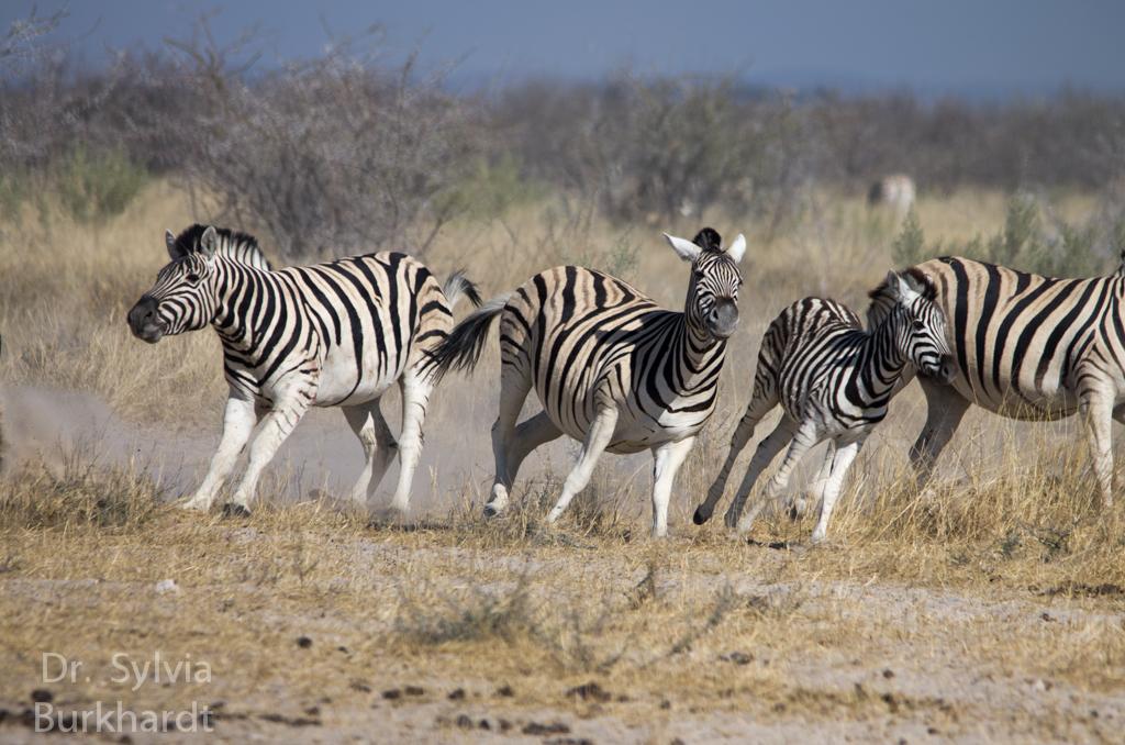 Zebra Flucht