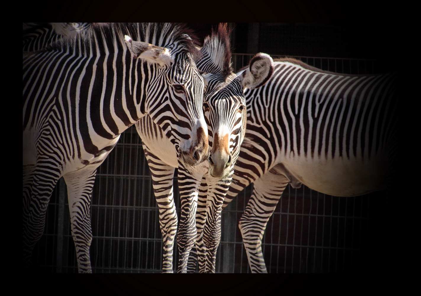 Zebra-Freundschaft
