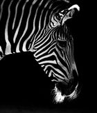 Zebra im abendlichen Licht