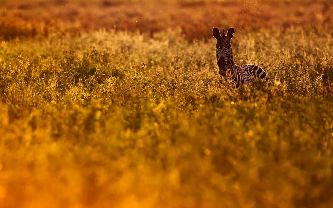 Zebra im Gegenlicht -