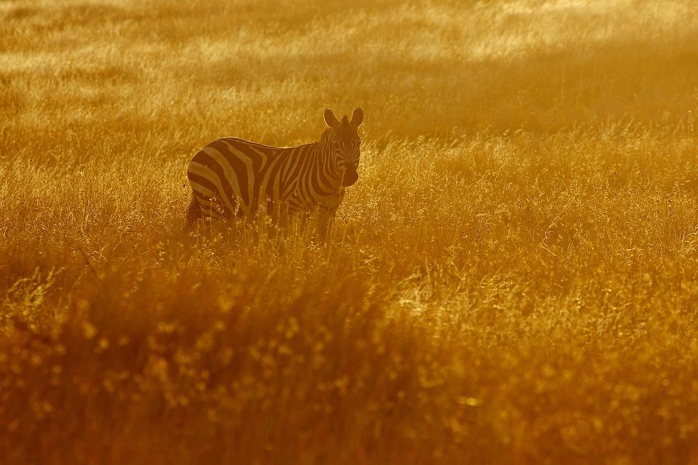 Zebra im Gegenlicht