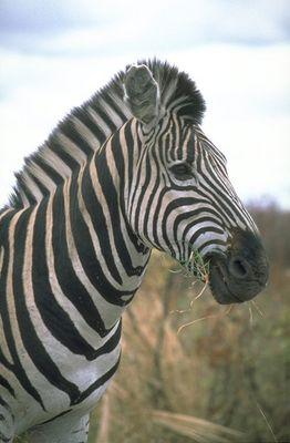 Zebra im Krüger-Park
