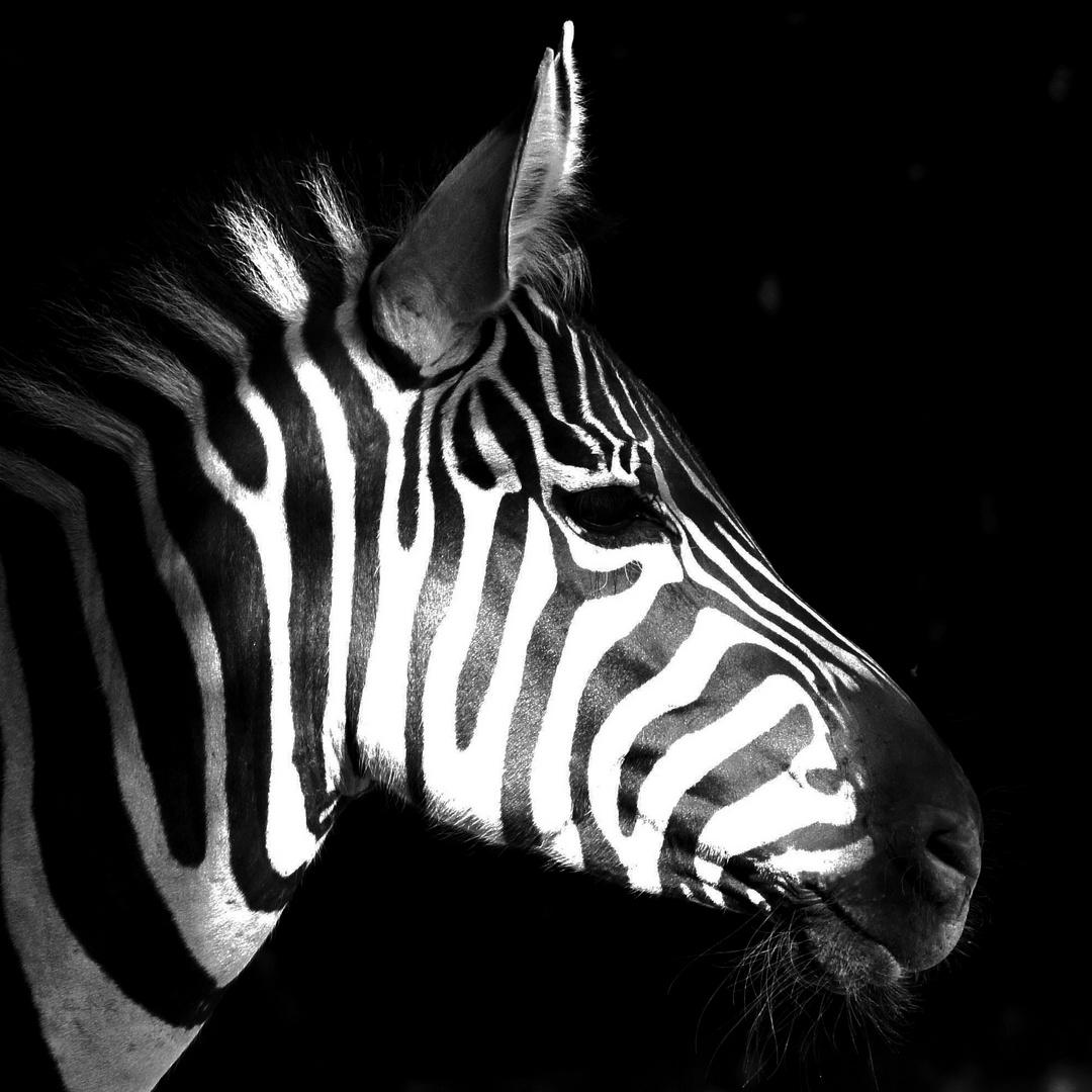 Zebra im Profil