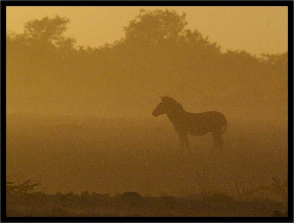 Zebra im Sandsturm bei Sonnenuntergang