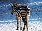 Zebra im Schnee