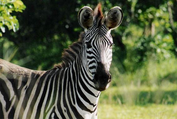 zebra im south luangwa n.p.