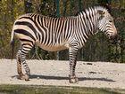 Zebra im Tierpark Hellabrunn 2010