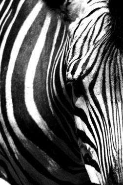 Zebra im Zoo München