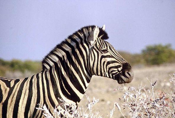 Zebra in der Etoshapfanne