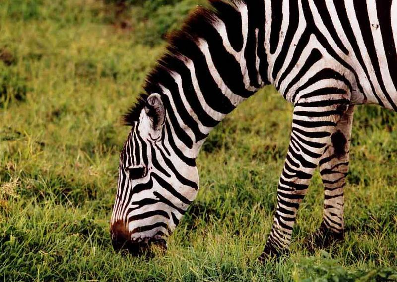 Zebra in der Serengeti