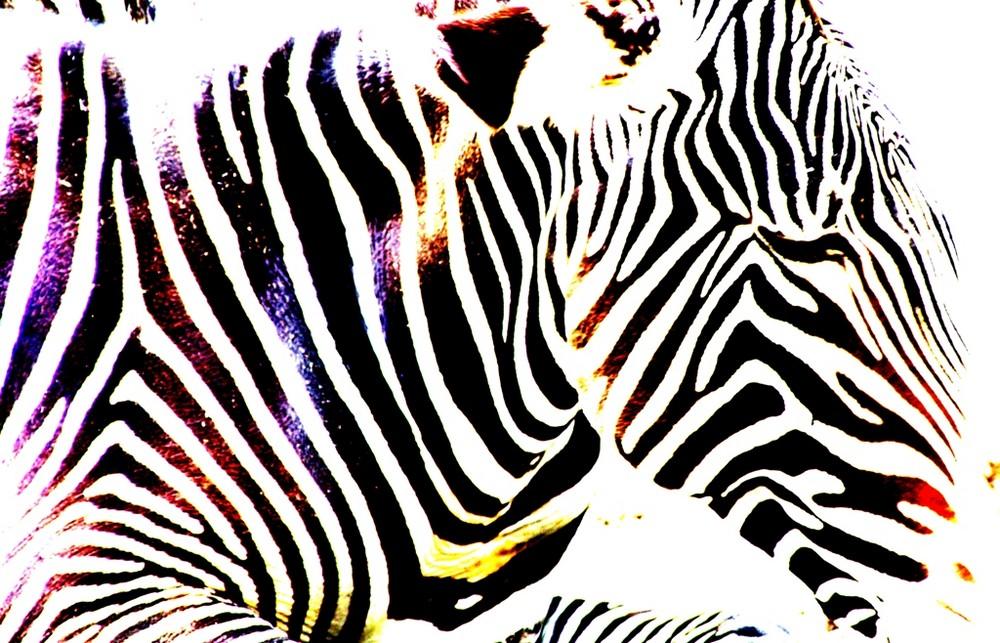Zebra in der Wilhelma