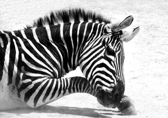 Zebra in S/W