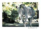 . Zebra in USA .