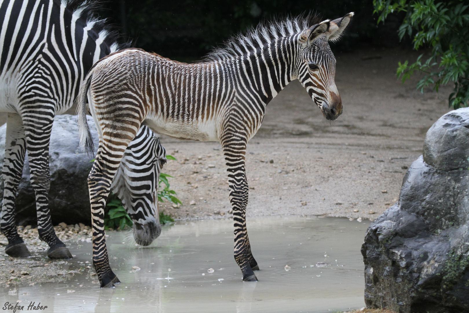 Zebra Junior
